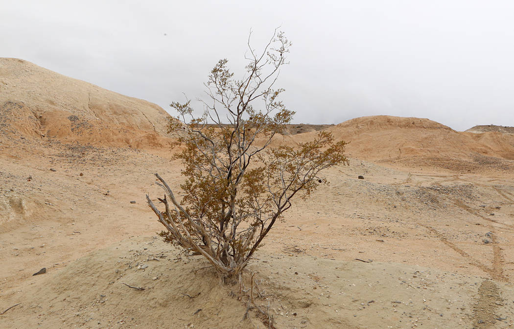 Bizuayehu Tesfaye/Las Vegas Review-Journal A Creosote bush used as a Christmas Tree for the 1962-1963 Big Dig stands at Tule Springs State Park where 20,000-year-old animal fossils were found in 2 ...
