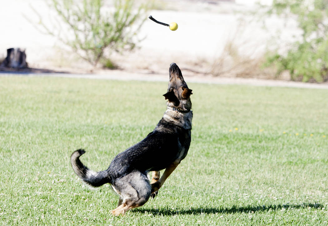Arletta prepares to catch her toy, thrown by her trainer and owner David Rivisto, not photographed, at Wayne Bunker Park on May 12, 2017, in Las Vegas. Bizuayehu Tesfaye Las Vegas Review-Journal @ ...