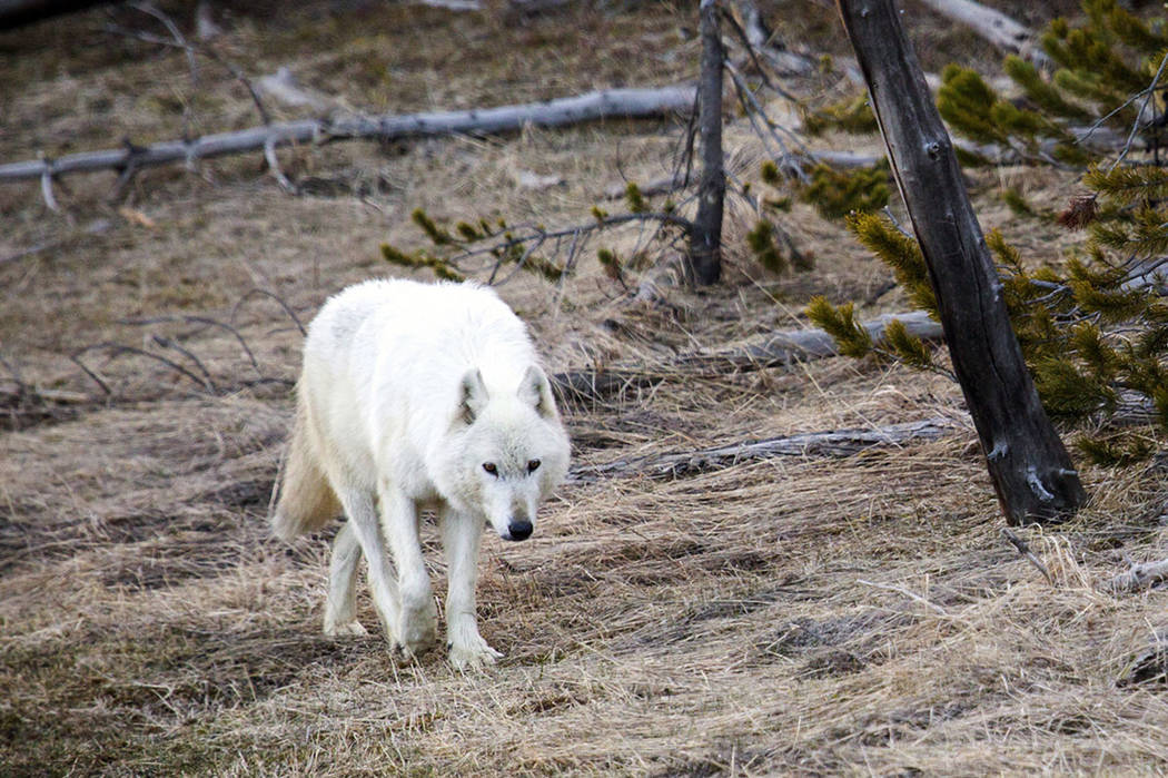 A white wolf walks in Yellowstone National Park in Wyo. (Neal Herbert/Yellowstone National Park via AP)