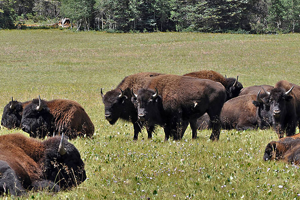 Bison are seen in the national forest adjacent to the Grand Canyon in Northern Arizona. (Kaibab National Forest via AP, File)