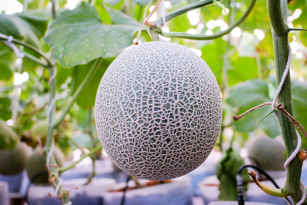 Thinkstock Although the planting season for many vegetables has passed, cantaloupes grow well in the summer heat.