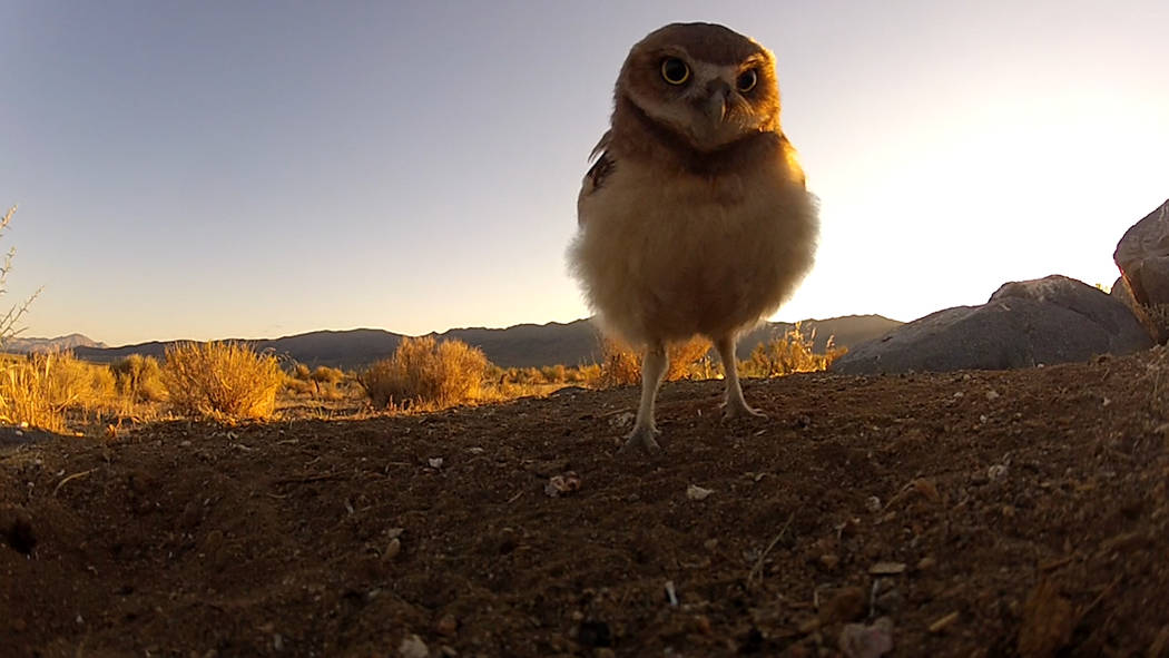 A burrowing owl checks out a camera north of Reno in a still image from video footage featured in a new advertising campaign for the Nevada Department of Wildlife. Tim Torell