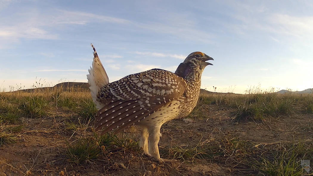 A male sharp-tailed grouse calls out before starting his mating dance in a still image from a video now being used to advertise conseravtion work by the Nevada Department of Wildlife. Tim Torell