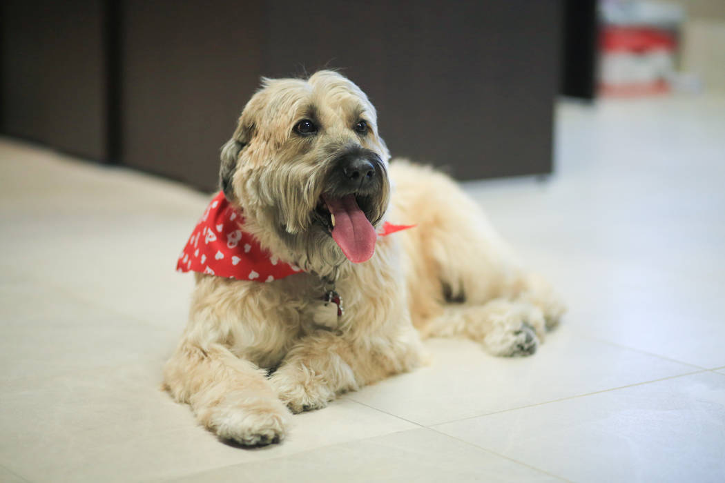Sadie, a 9-year-old Wheaten Terrier, who has to approve all hires at Goettl Air Conditioning, lies down in the office of Ken Goodrich, the CEO of Geottl Air Conditioning, in Las Vegas on Friday, M ...
