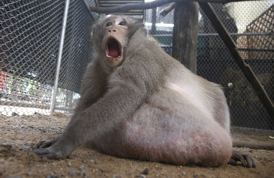 Thailand's chunky monkey on diet after gorging on tourists' junk food