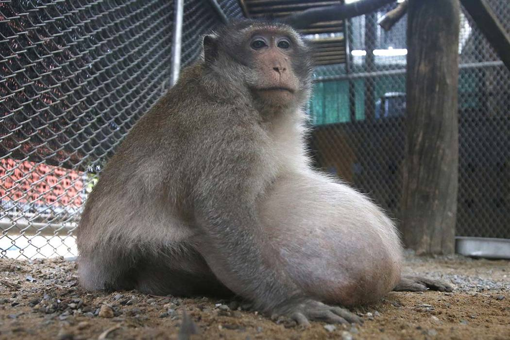 Thailand's super chunky monkey goes on a diet