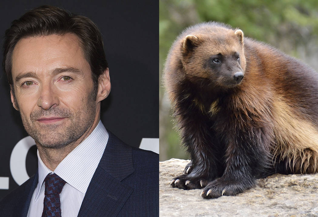 Hugh Jackman and a wolverine. (AP and Thinkstock)