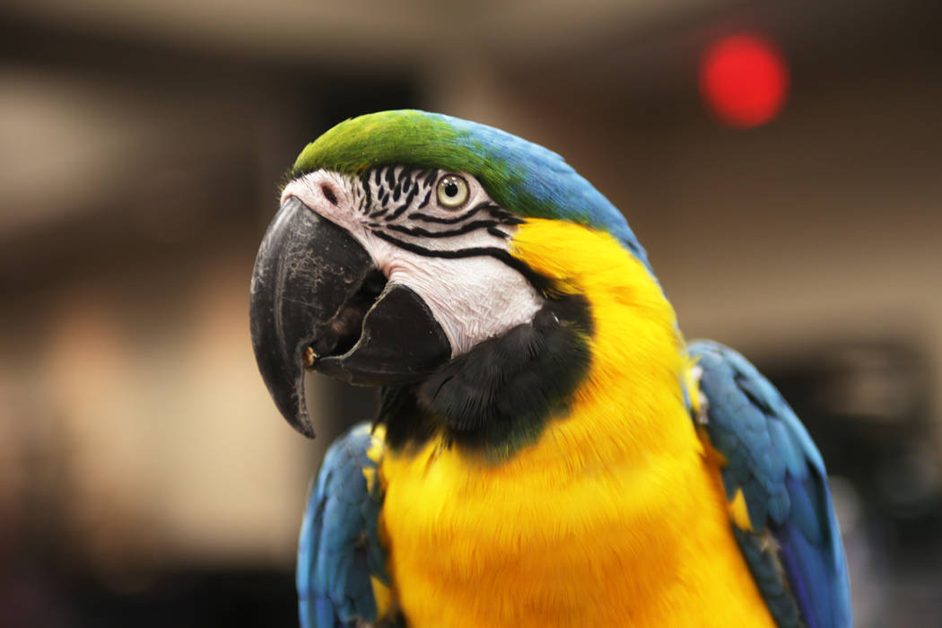 DaVinci, a blue and gold macaw, on Sunday, May 21, 2017, at the Bird Mart Show hosted by the Las Vegas Avicultural Society at the Henderson Convention Center in Henderson. Rachel Aston Las Vegas R ...