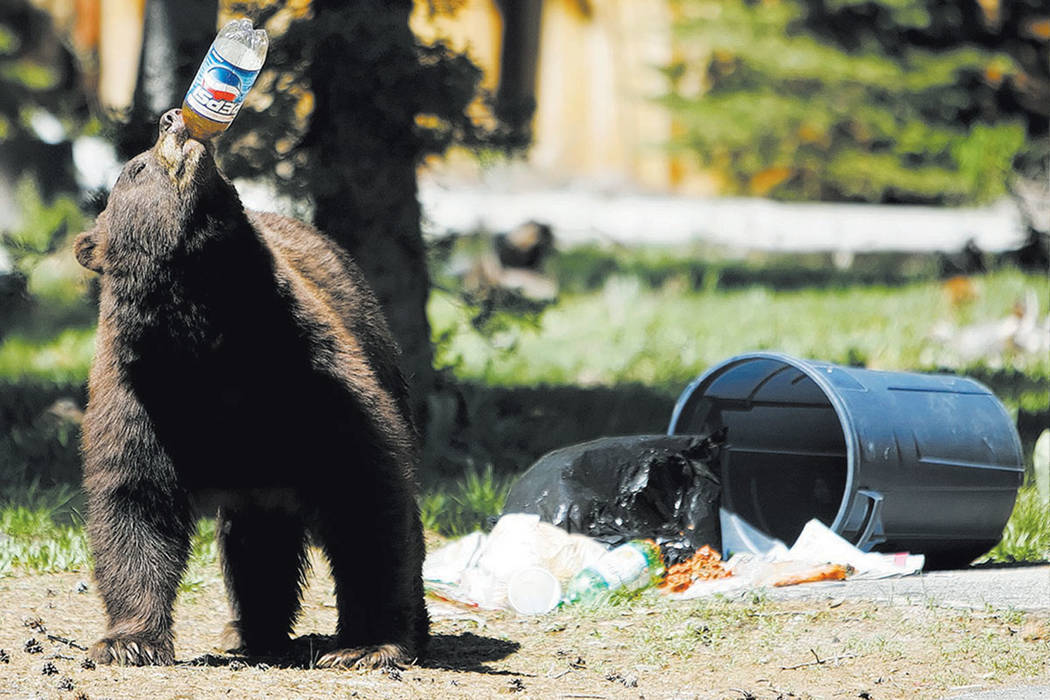 A black drinks from a plastic soda bottle near South Lake Tahoe, Calif., in 2007. (Chad Lundquist/Nevada Appeal via AP, File)