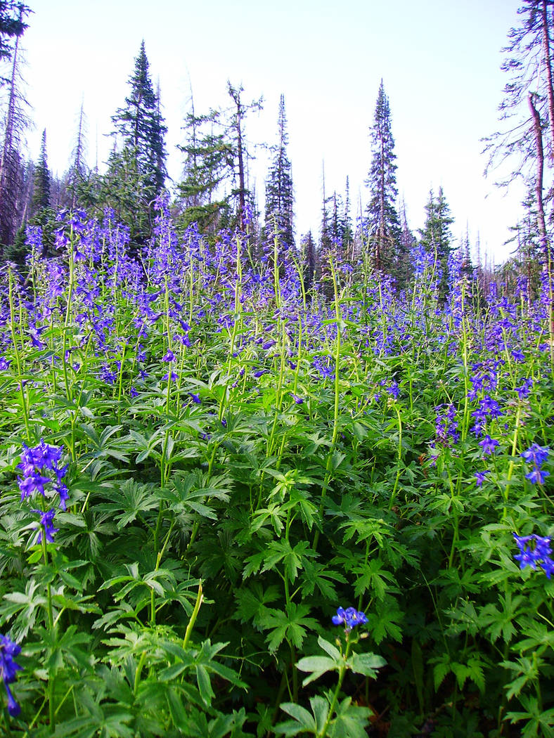 Lupine can be found blooming throughout the park in July. (Deborah Wall)