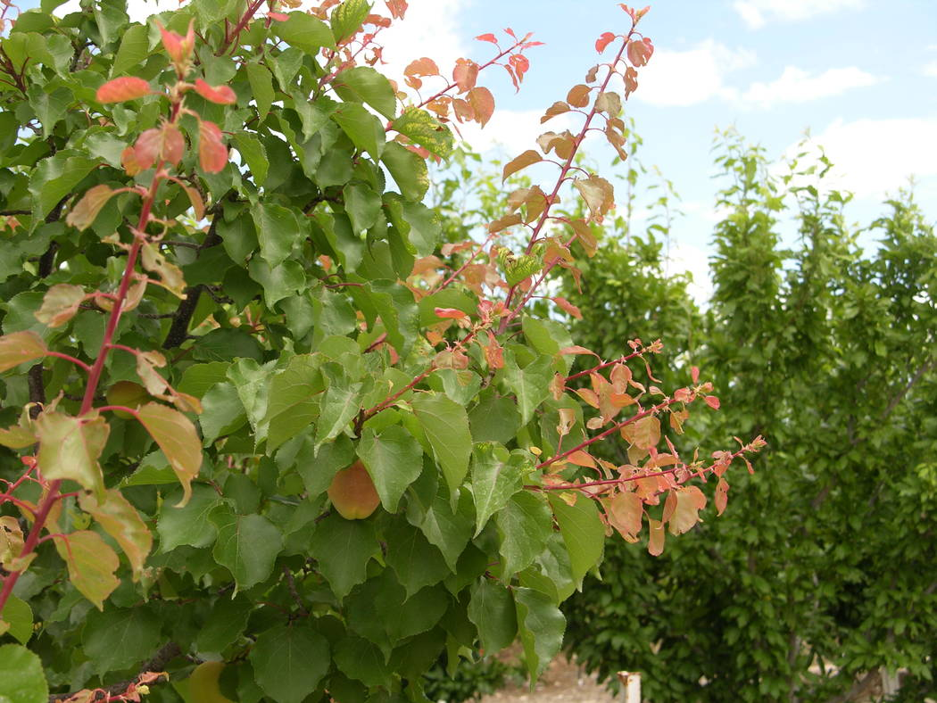 Bob Morris The pink leaves on this Blenheim apricot tree are signs of new growth.