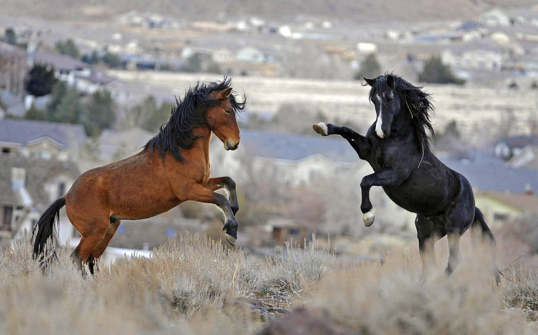 FILE - In this Jan. 13, 2010 file photo, two young wild horses play while grazing in Reno, Nev. (Andy Barron/The Reno Gazette-Journal via AP)