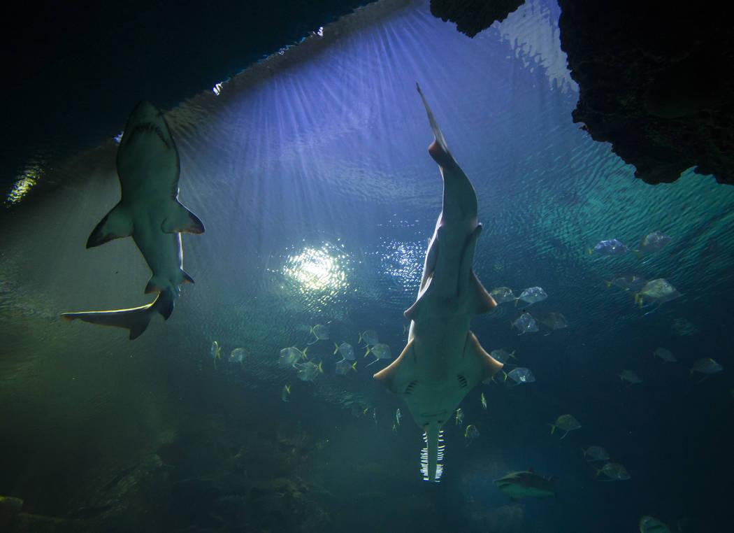 The Shark Reef Aquarium at Mandalay Bay hotel-casino in Las Vegas on Tuesday, May 30, 2017. Chase Stevens Las Vegas Review-Journal @csstevensphoto