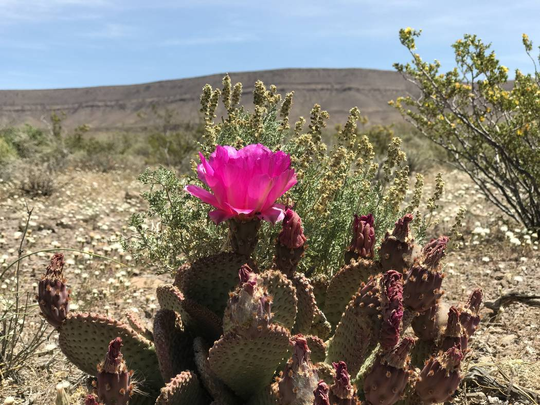 A cactus blooms west of Yucca Mountain, May 3, 2017. Keith Rogers Las Vegas Review-Journal