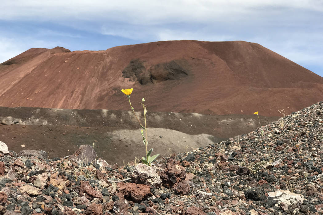 A wild flower blooms in front of Lathrop Wells cinder cone in the Amargosa Desert, May 22, 2018. Keith Rogers Las Vegas Review-Journal
