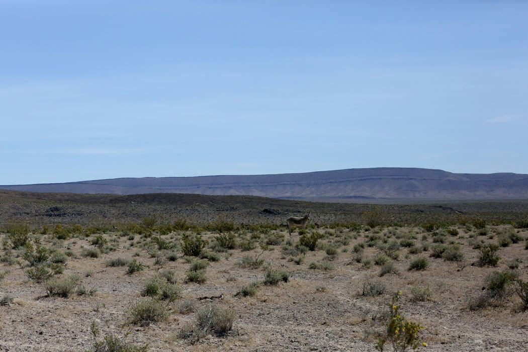 A wild burro roams Crater Flat west of Yucca Mountain May 3, 2017.  Michael Quine/Las Vegas Review-Journal @Vegas88s