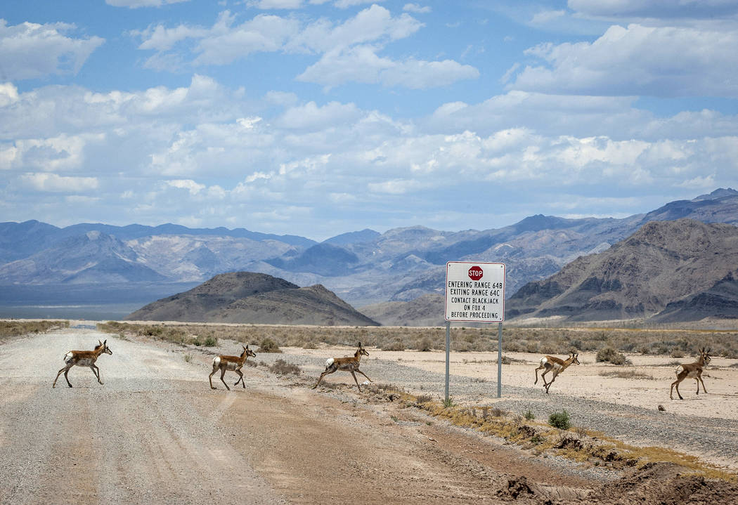 Pronghorn run across the road during a range tour on the Nellis Air Force Base on Sunday, May 21, 2017. Patrick Connolly Las Vegas Review-Journal @PConnPie