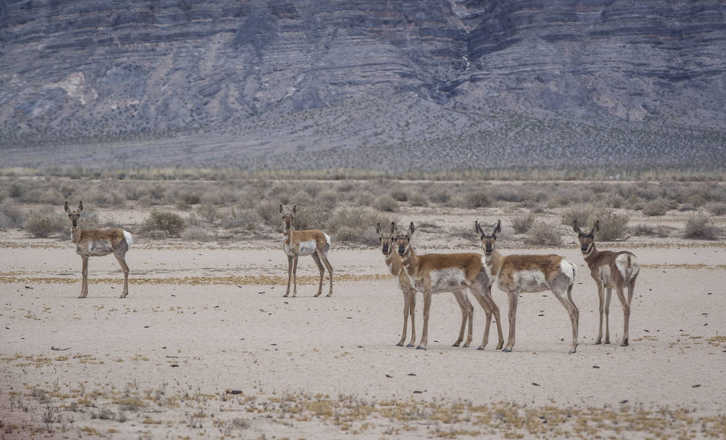Pronghorn antelope watch a truck drive past on the Nevada Test and Training Range on Sunday, May 21, 2017. Patrick Connolly Las Vegas Review-Journal @PConnPie