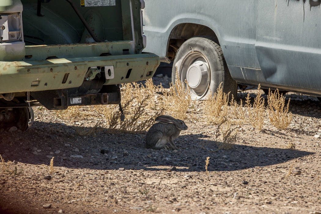 """A jackrabbit hides in the shade of a target vehicle inside """"Gotham City,"""" an urban warfare practice facility at the Nevada Test and Training Range. Patrick Connolly Las Vegas Review-Journal @PConnPie"""