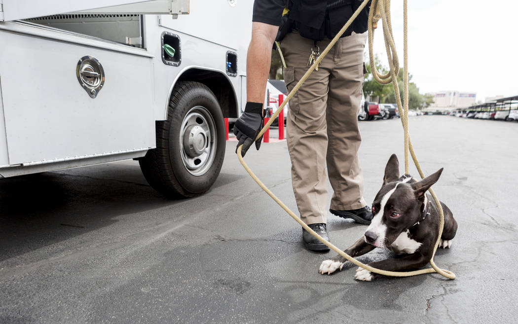 Animal control officer Mike Felton collects an unaggressive abandoned dog from an apartment complex in Las Vegas, Wednesday, May 31, 2017.  Elizabeth Brumley/Las Vegas Review-Journal