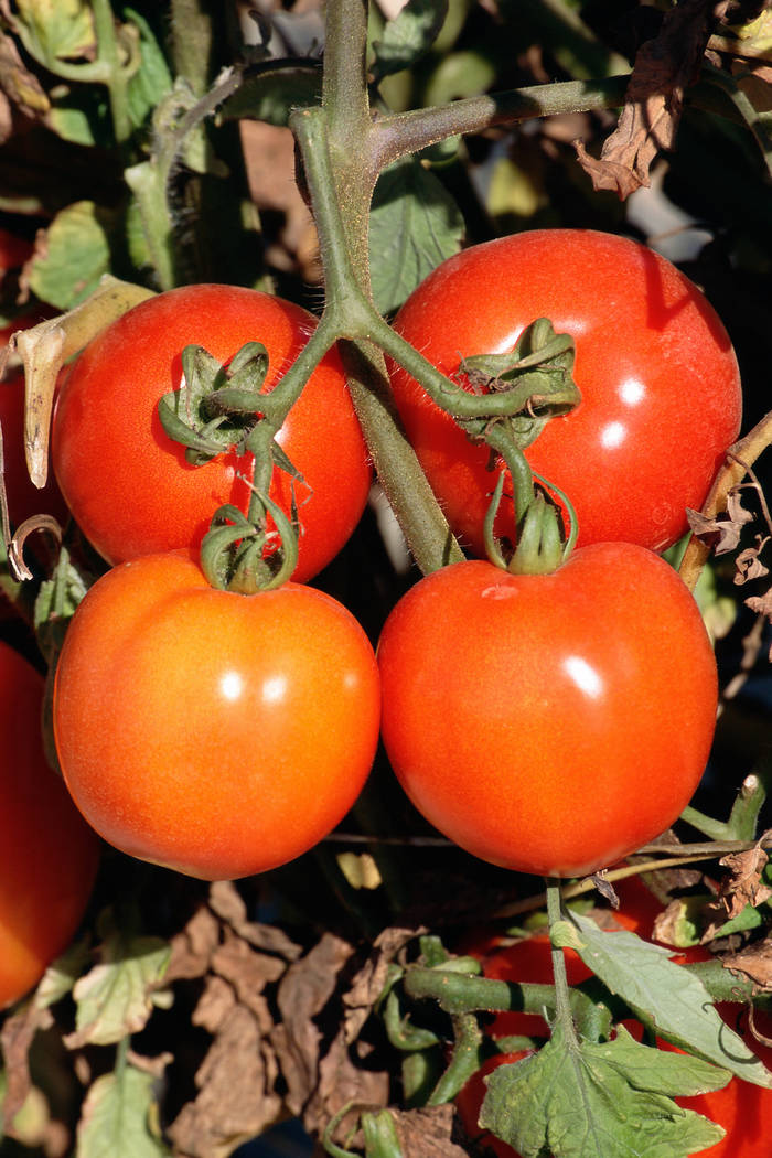 Thinkstock The amount of shade provided to tomatoes is critical for production of fruit. Too much shade and the flowering and fruiting will stop.