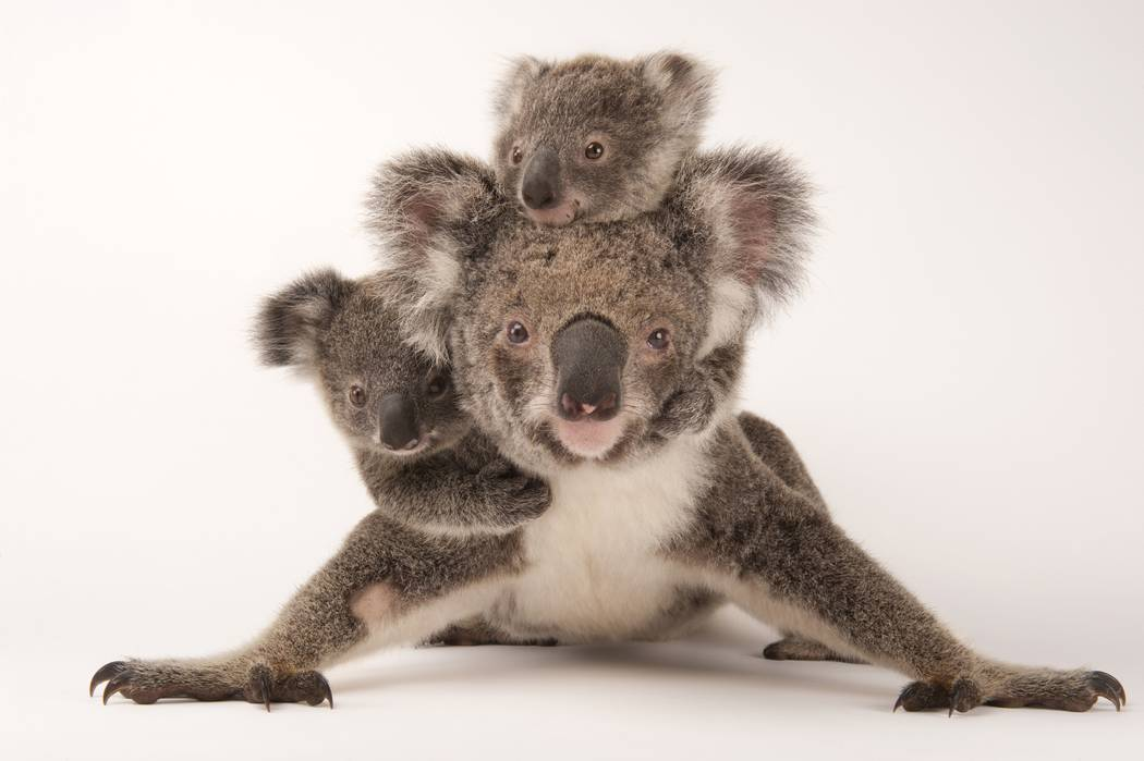 A federally threatened koala, Phascolarctos cinereus, with her babies at the Australia Zoo Wildlife Hospital. Joel Sartore/National Geographic Photo Ark natgeophotoark.org