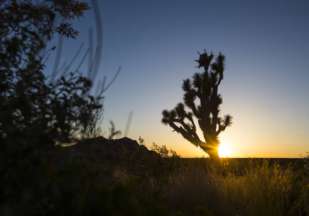 A Joshua tree is silhouetted against the sky in the Whitney Pockets area of the Gold Butte National Monument south of Bunkerville on Friday, June 2, 2017. Chase Stevens Las Vegas Review-Journal @c ...