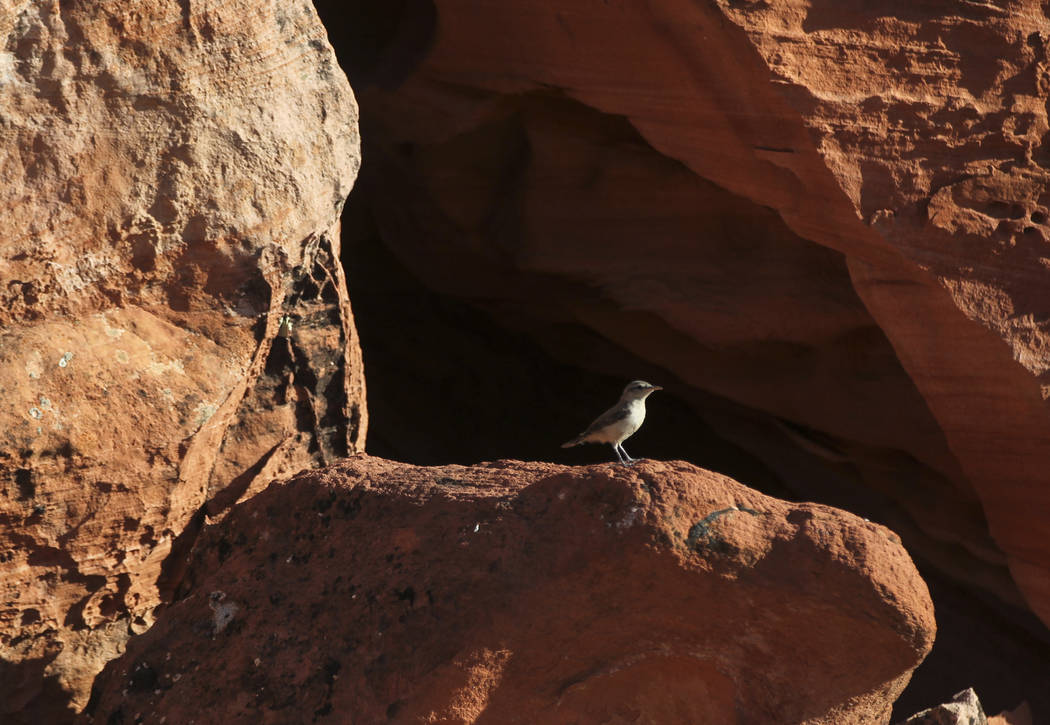 A small bird in the Gold Butte National Monument south of Bunkerville on Friday, June 2, 2017. Chase Stevens Las Vegas Review-Journal @csstevensphoto
