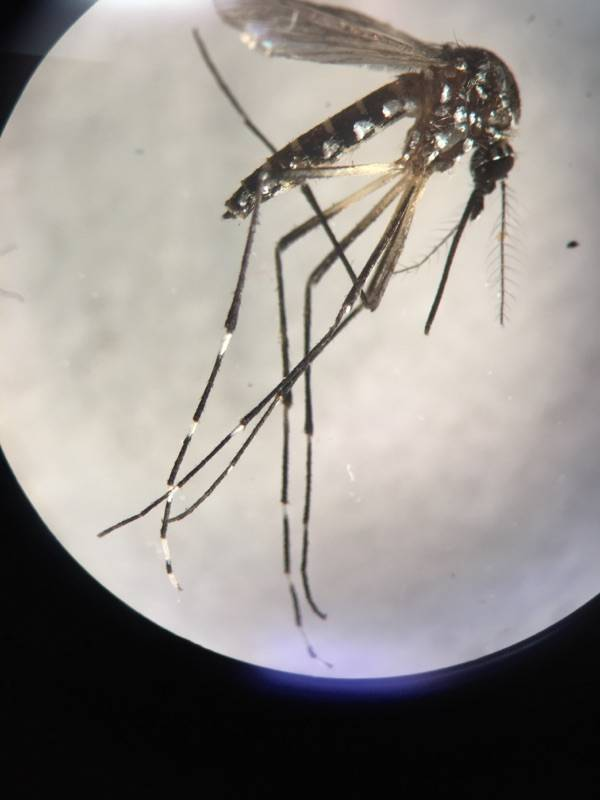 The Aedes aegypti mosquito is the main type of mosquito that spreads Zika, dengue, chikungunya, and other viruses. (Southern Nevada Health District)