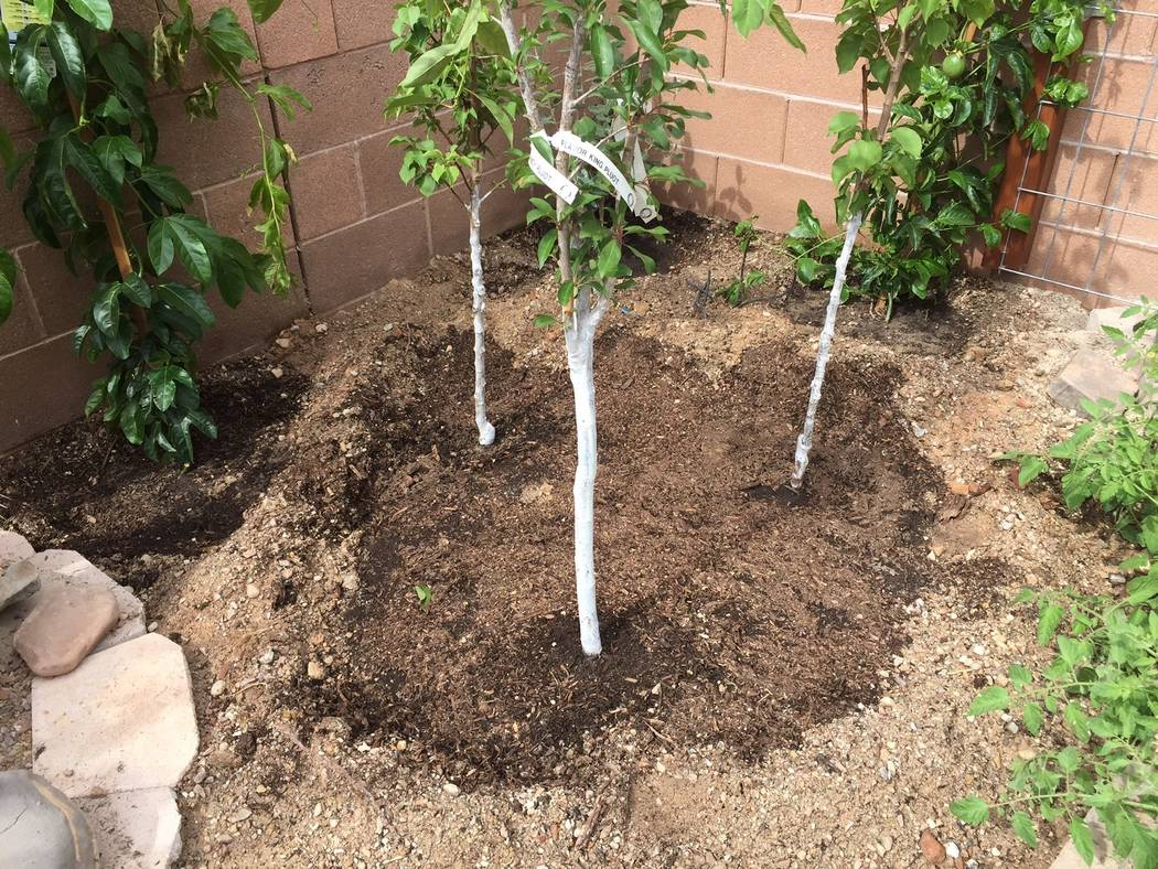Bob Morris More than one fruit tree can be planted in a single hole for a sequential harvest of fruit during the year.
