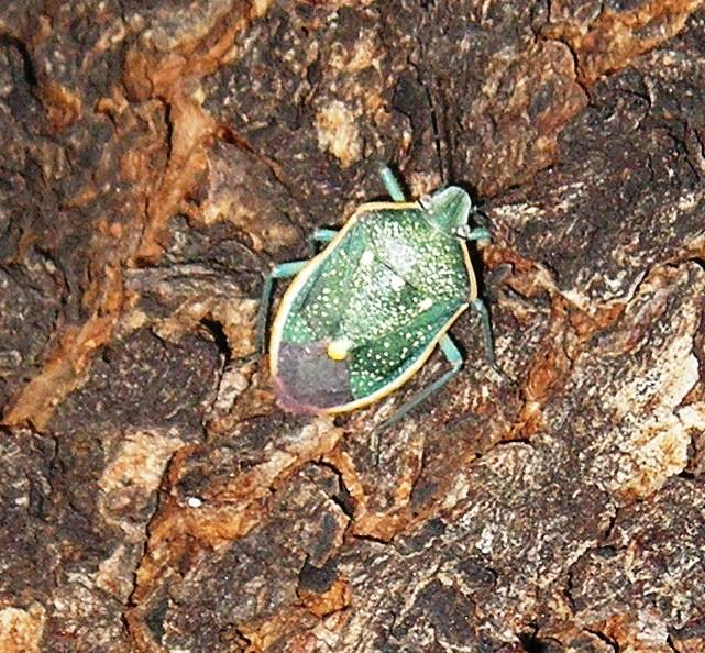 Bob Morris The green stink bug commonly feeds on fruit, buds and leaves using its hypodermic-like mouth.