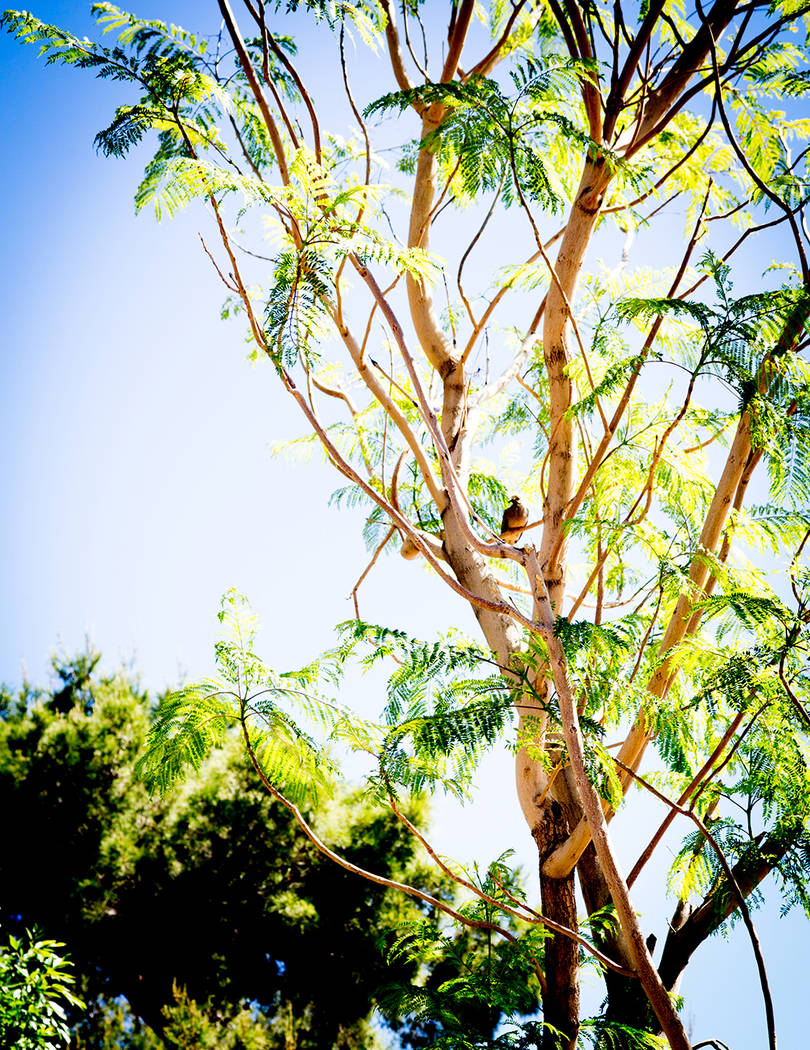 After removing some concrete from the front yard, they planted a big pine tree and a graceful, purple-flowered jacaranda that is home to several birds. It has a density and variety of plants and s ...