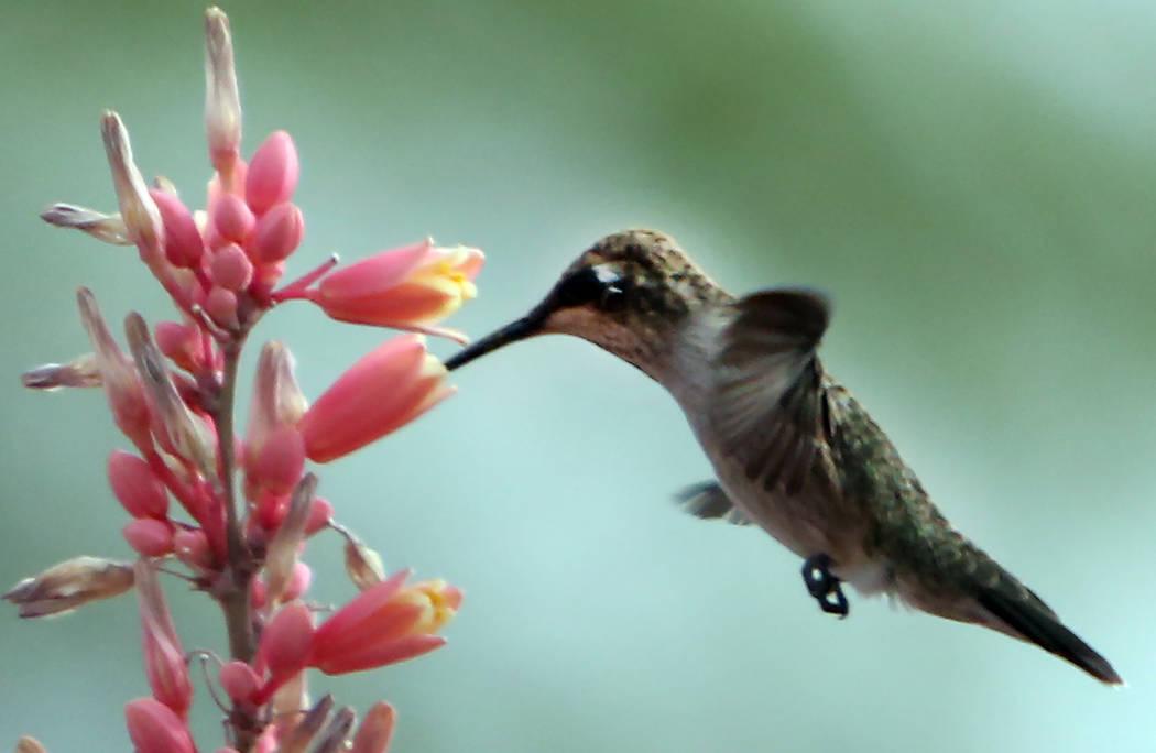 A hummingbird hovers over a flower on Thursday, June 8, 2017, in Las Vegas. (Bizuayehu Tesfaye/Las Vegas Review-Journal) @bizutesfaye