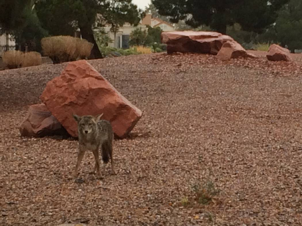 A coyote is seen on a rainy day in April 2017 in Sun City Summerlin. Initially, there was a pair of coyotes but when View arrived, there was only one. It was eating some type of rodent but stopped ...
