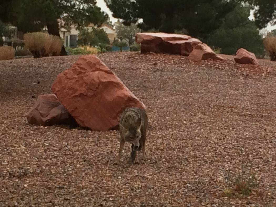 A coyote is seen on a rainy day in April 2017 in Sun City Summerlin. Initially, there was a pair of coyotes but when View arrived, there was only one. It was eating some type of rodent.  (JAN HOGA ...