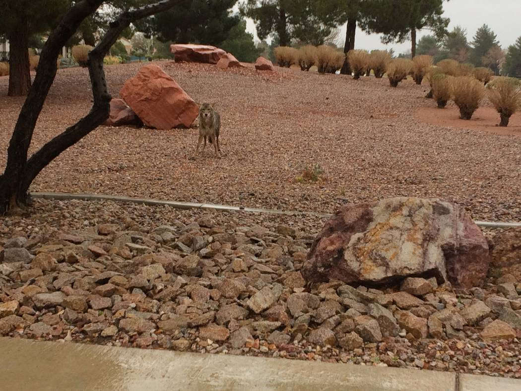 A coyote is seen on a rainy day in April 2017 in Sun City Summerlin. Initially, there was a pair of coyotes but when View arrived, there was only one. It was eating some type of rodent.  The sidew ...