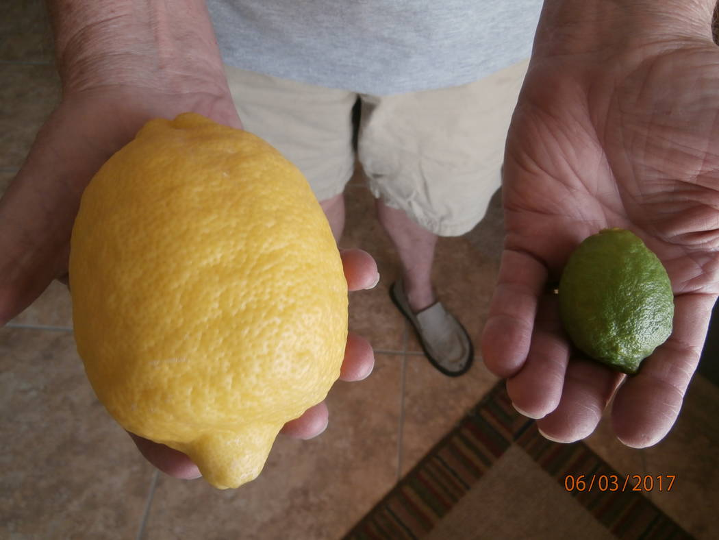 Bob Morris The Ponderosa lemon tree's maturing fruit will turn from a dark green to a lighter green warm weather. It is more likely to turn yellow if it matures during cold weather.