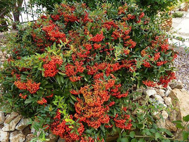 Bob Morris Borers on a pyracantha will cause the leaves to die on a single branch or two.