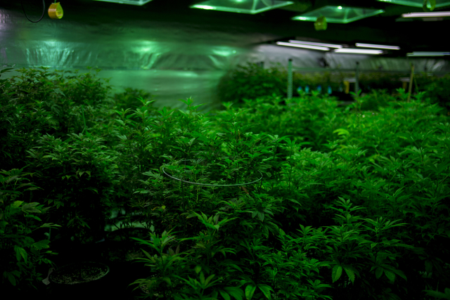 Marijuana plants grow in Medicine Man, a family owned dispensary in Denver Colorado, Friday, Sept. 2, 2016. (Elizabeth Page Brumley/Las Vegas Review-Journal) @ELIPAGEPHOTO