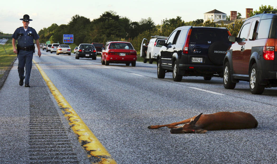A wounded deer lies in the road after being hit by a car on the northbound lane of Interstate 295 near Freeport, Maine on June 11, 2008. In Oregon, under a road kill bill passed overwhelmingly by  ...