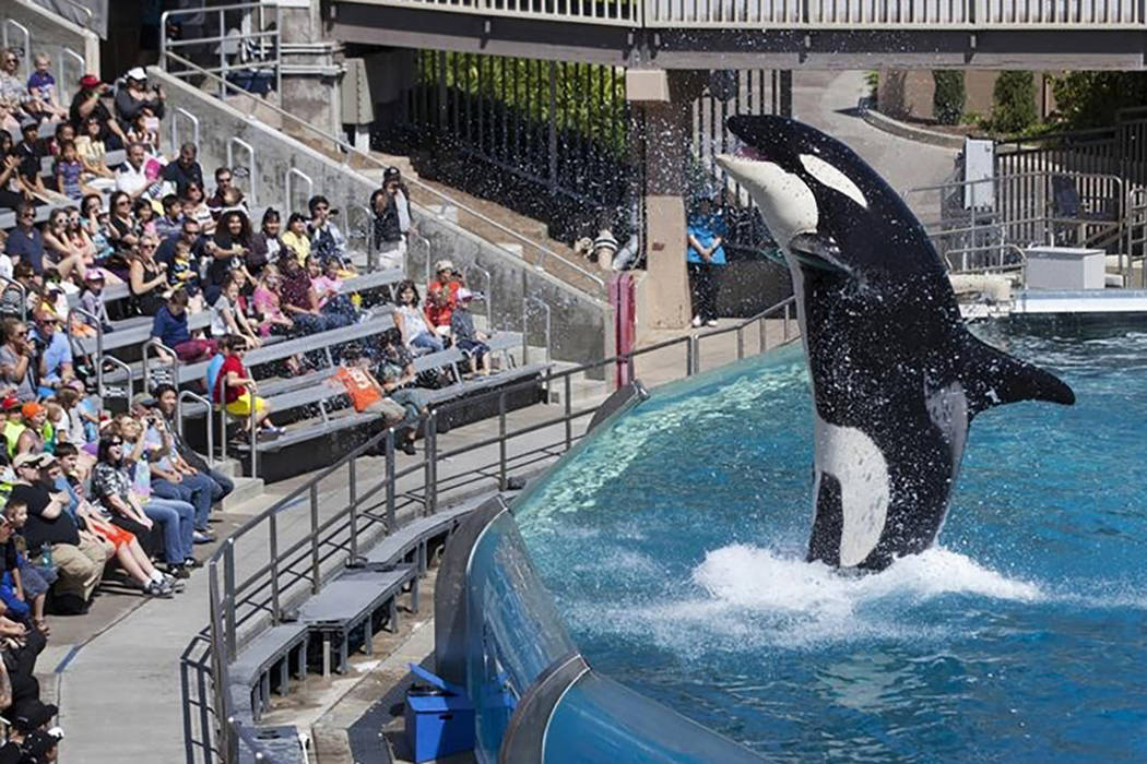 Visitors are greeted by an Orca killer whale as they attend a show featuring the whales during a visit to the animal theme park SeaWorld in San Diego, California March 19, 2014. (Mike Blake /Reuters)