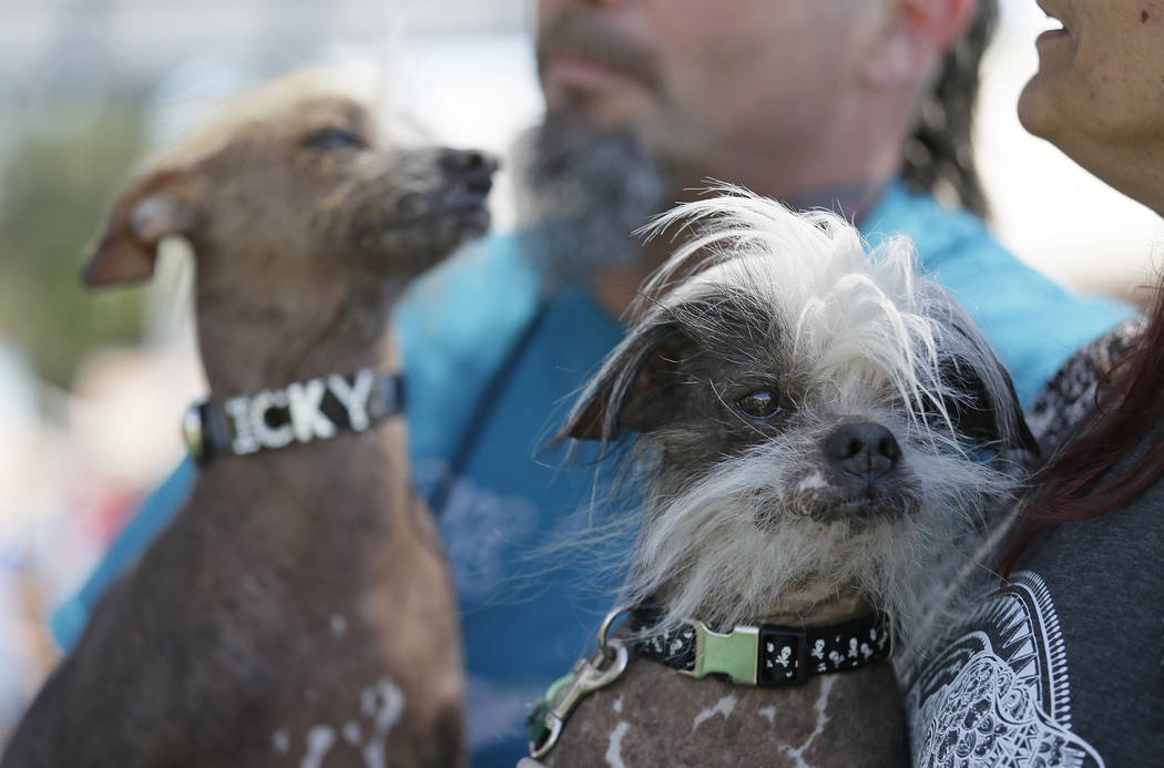 Icky, left, an unknown hairless, and Zoomer, right, a Chinese crested, both from Davis, California, wait to compete in the World's Ugliest Dog Contest at the Sonoma-Marin Fair Friday, June 23, 201 ...