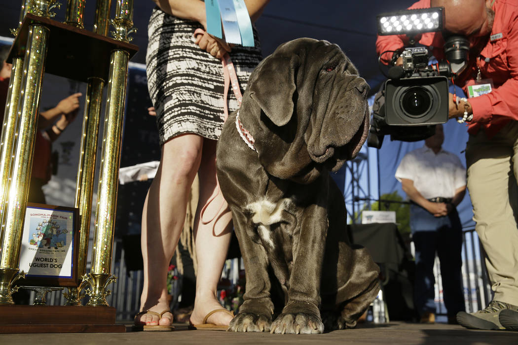 Martha, a Neapolitan mastiff, stands on stage after winning the World's Ugliest Dog Contest at the Sonoma-Marin Fair on Friday, June 23, 2017, in Petaluma, Calif. Martha is owned by Shirley Zinder ...