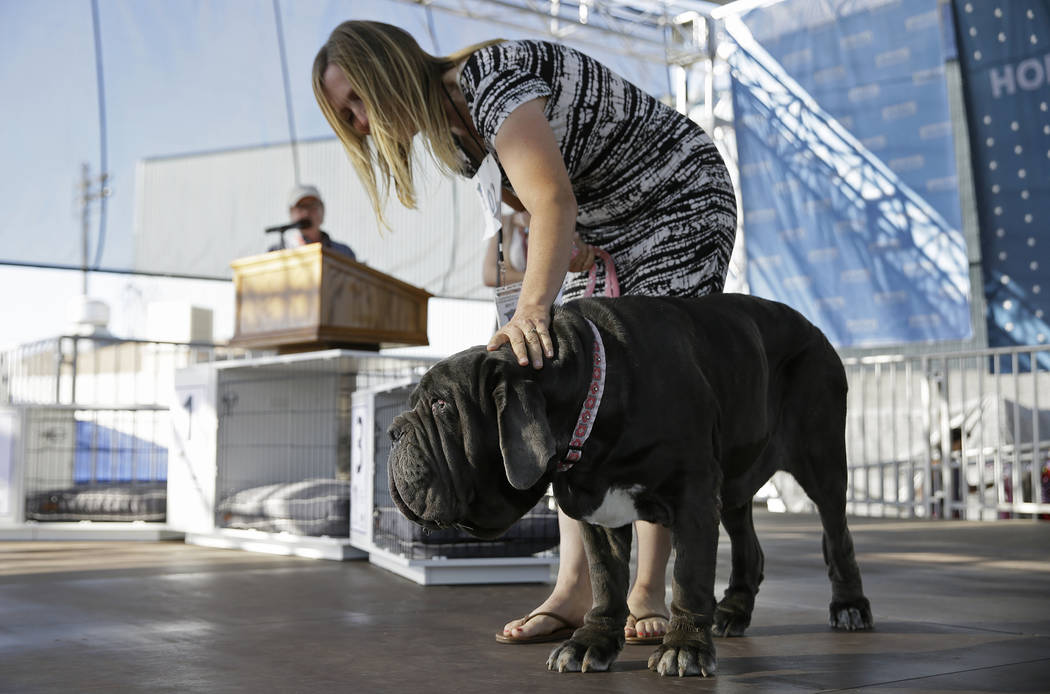 Martha, a Neapolitan mastiff, competes while being escorted by Shirley Zindler in the World's Ugliest Dog Contest at the Sonoma-Marin Fair on Friday, June 23, 2017, in Petaluma, Calif. Martha was  ...