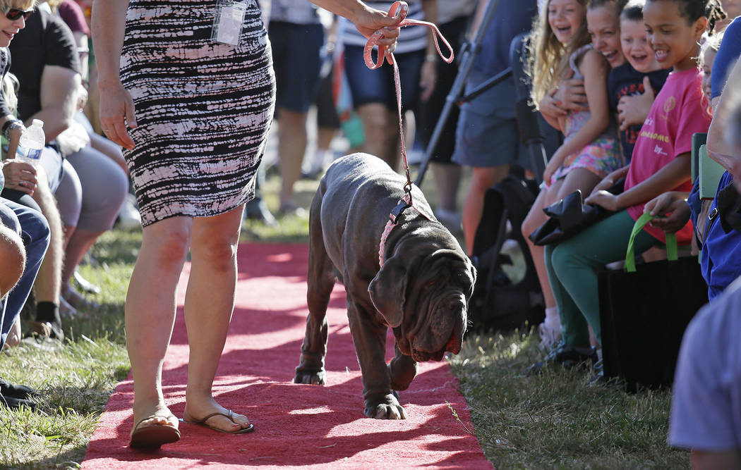 Martha, a Neapolitan mastiff, walks down the red carpet during the World's Ugliest Dog Contest at the Sonoma-Marin Fair on Friday, June 23, 2017, in Petaluma, Calif. Martha, of Sebastopol, Calif., ...