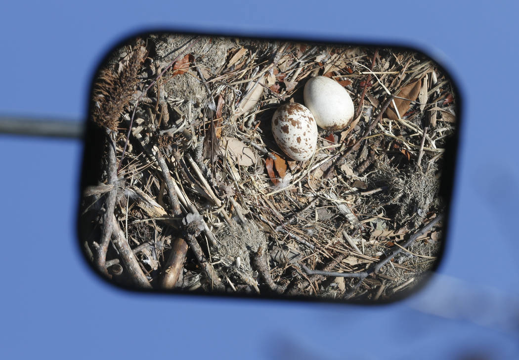 An inspection mirror shows two osprey eggs discovered in a nest during the Virginia Aquarium & Marine Science Center tagging and survey operation on the Lynnhaven River in Virginia Beach, Va., ...
