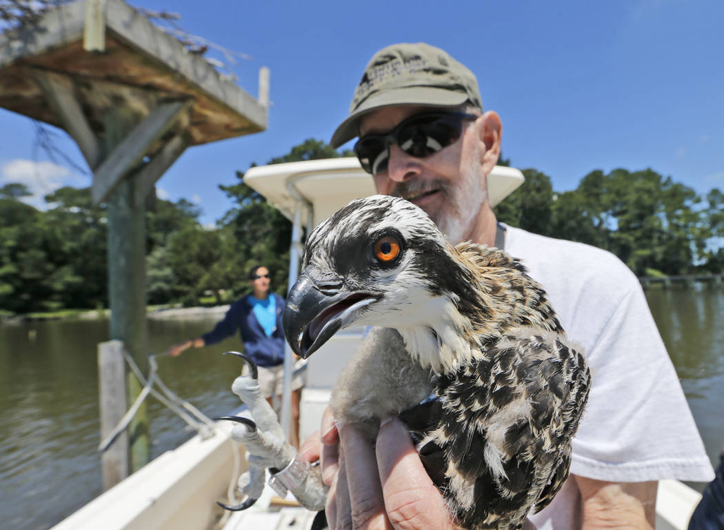 Research associate for the Center for Conservation Biology for the College of W&M and Virginia Commonwealth University, Reese Lukei Jr., holds a juvenile osprey in Lynnhaven River in Virginia  ...