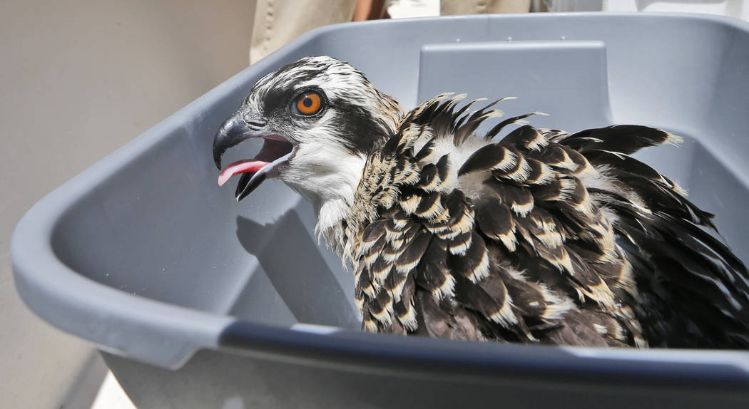A juvenile osprey sits in a tub as it is weighed during a survey and tagging operation by the Virginia Aquarium & Marine Science Center on the Lynnhaven River in Virginia Beach, Va., on Friday ...
