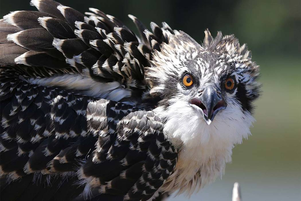 A juvenile osprey looks at surveyors as they prepare to capture him during a tagging and survey operation of the Virginia Aquarium & Marine Science Center on the Lynnhaven River in Virginia Be ...