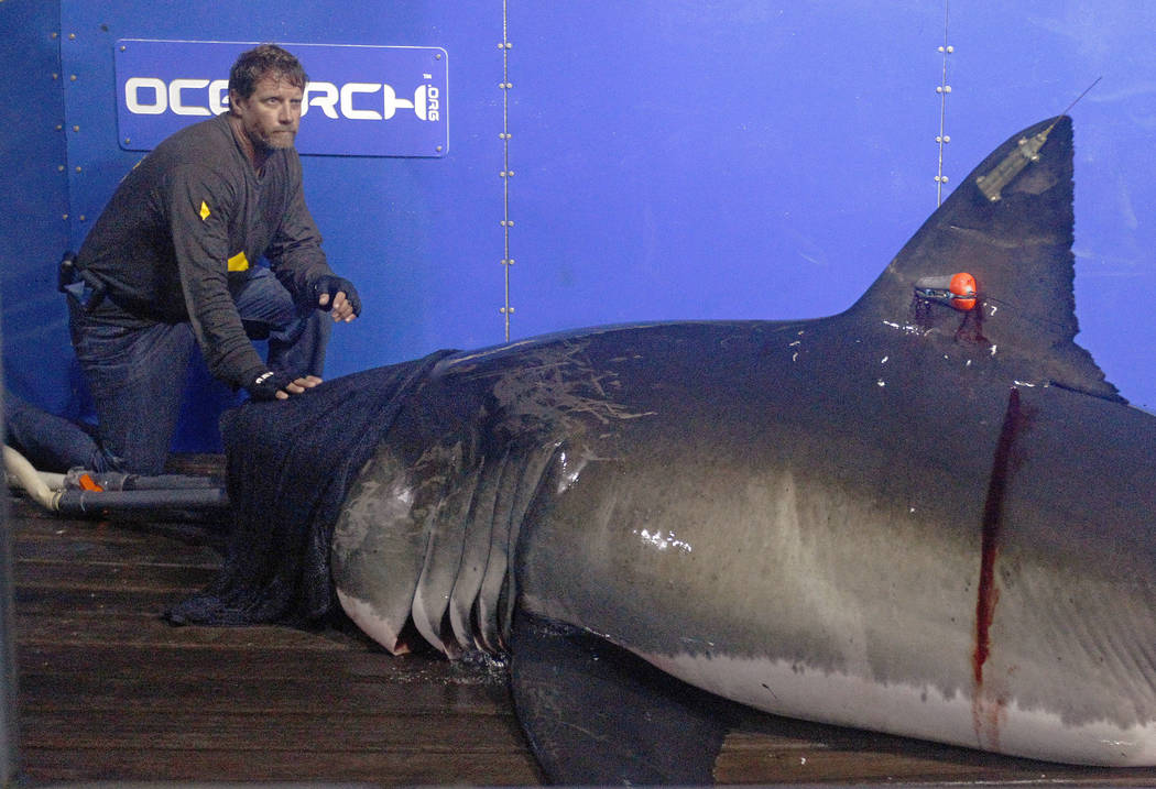 Captain Brett McBride places his hand on the snout of a great white shark while scientists collect blood, tissue samples and attach tracking devices on the research vessel Ocearch off the coast of ...